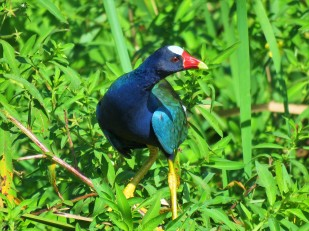 A Purple Gallinule seen whilst birding Gamboa with Panama Pipeline Bird Tours