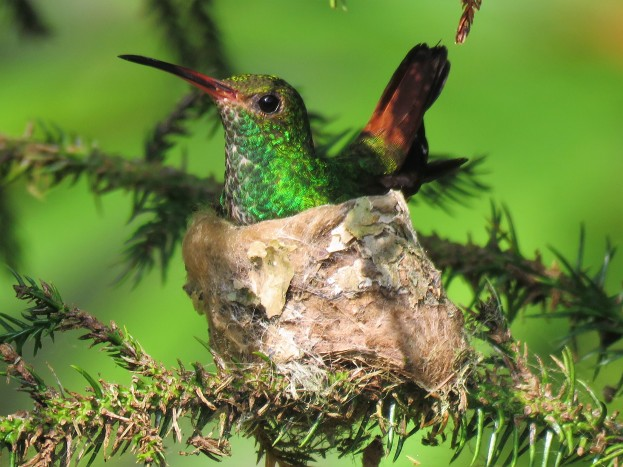 Photo of a Rufous-tailed Hummingbird taken by the bird guide in Gamboa Panama