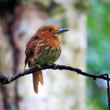 Photo of a White-whiskered Puffbird taken by the bird guide whilst birdwatching Pipleine Road Panama