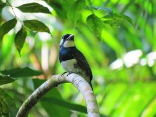 Photo of a Black-breasted Puffbird taken by the bird guide whilst birdwatching Pipleine Road Panama