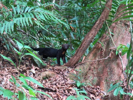 Photo of a Tayra taken on a bird tour of Pipeline Road Panama
