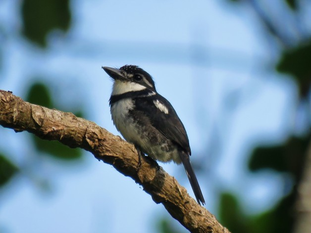 Photo of a Pied Puffbird taken by the bird guide whilst birdwatching Pipleine Road Panama