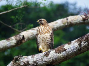 A photo of a Broad-winged Hawk taken whilst birdwatching Pipeline Road Panama