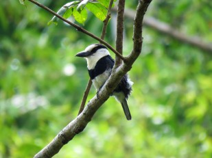 Photo of a White-necked Puffbird taken by the bird guide whilst birdwatching Pipleine Road Panama