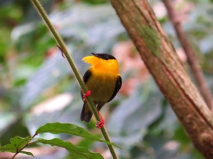 Photo of a Golden-collared Manakin whilst birdwatching Pipeline Road Panama