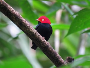 Photo of a Red-capped Manakin whilst Birding Pipeline Road Panama