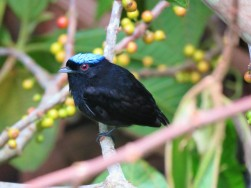 Photo of a Blue-crowned Manakin taken with a bird guide in Gamboa Panama