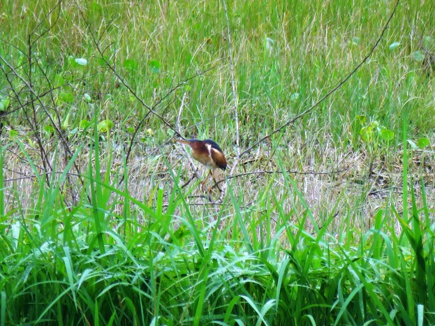 Photo of a Least Bittern taken whist birding with bird guide in Gamboa Panama
