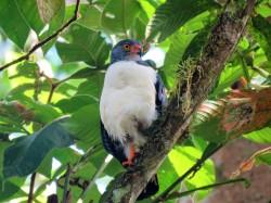Photo of Semiplumbeous Hawk taken whilst birding Pipeline Road Panama.