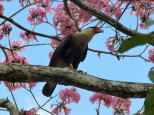 Photo of a Crested Caracara taken whilst birding Gamboa Panama.