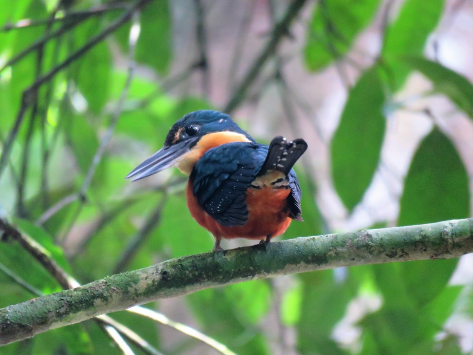 A photo of a Green-and-Rufous Kingfisher taken whilst birding Soberania National Park Panama