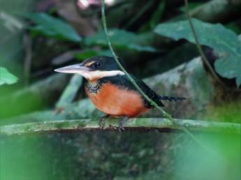 Photo of a Green-and-Rufous Kingfisher whilst birdwatching Gamboa, Panama