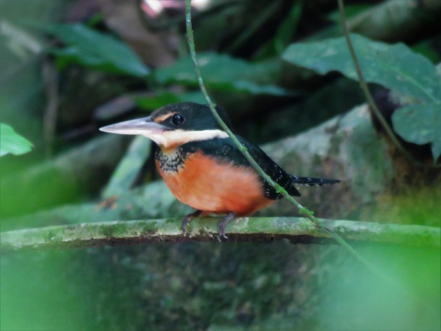 Photo of a Green-and-Rufous Kingfisher whilst birdwatching Gamboa, Panama