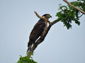 Photo of a Hook-billed Kite taken whilst birdwatching Pipeline Road Panama.