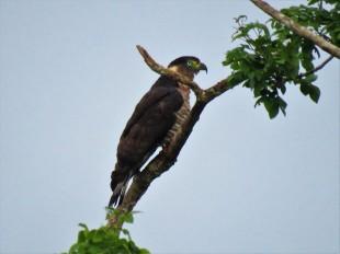 Photo of a Hook-billed Kite taken whilst birdwatching Pipeline Road Panama.