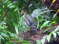 Photo of a Slaty-backed Forest-falcon taken whilst birdwatching Pipeline Road Panama.