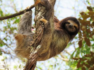 Photo of a Three-toed Sloth taken with bird guide at Pipeline Road Panama