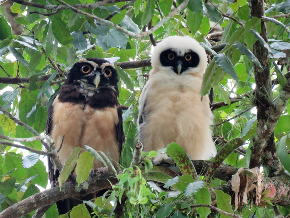 A photo of a Spectacled Owl and chick found by bird guide in Gamboa Panama