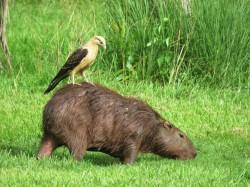 Photo of Yellow-headed caracara and Capybara on Birding tour in Gamboa Panama