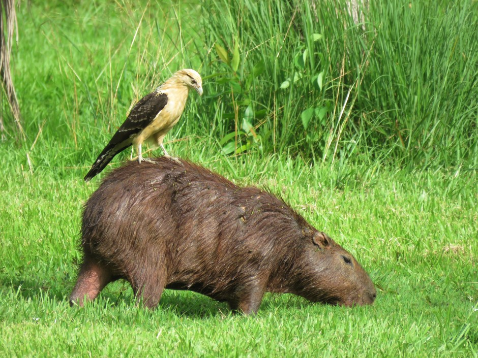 Photo of Yellow-headed caracara and Capybara on Birding tour in Gamboa Panama