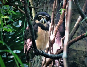 A photo of a Spectacled owl on Old Gamboa Road whilst Birding Panama