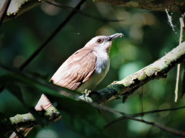 Photo of A Migrating Black-billed Cuckoo whilst birdwatching Pipeline Road, Panama.