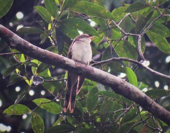 Photo of a Yellow-billed Cuckoo Taken Whilst Birding Gamboa with Panama Pipeline Bird Tours