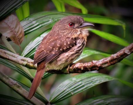 Photo of a White-whiskered Puffbird Taken Whilst Birding Gamboa with Panama Pipeline Bird Tours
