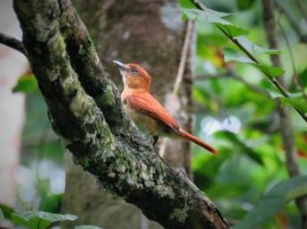Photo of a Cinnamon Becard taken birdwatching in Gamboa with Panama Pipeline Bird Tours