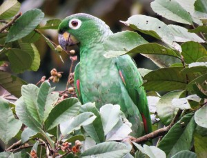 Photo of a Mealy Parrot taken birdwatching in Gamboa with Panama Pipeline Bird Tour