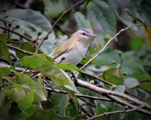 Photo of a Red-eyed Vireo taken birdwatching in Gamboa with Panama Pipeline Bird Tour
