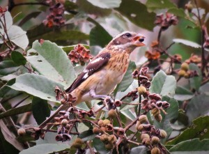 Photo of a Rose-breasted Grosbeak taken whilst birding in Gamboa with Panama Pipeline Bird Tour
