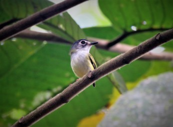 A photo of a Black-capped Pygmy-Tyrant taken whislt birding Pipeline Road with Panama Pipeline Bird Tours