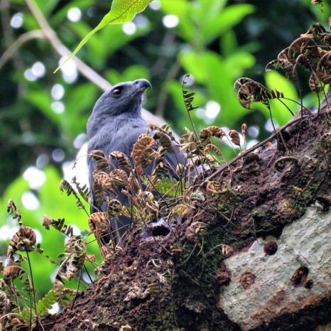 Photo of a Crane Hawk taken whilst birding Gamboa Panama