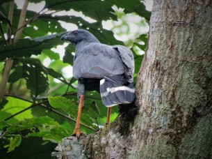 Photo of a foraging Crane Hawk taken whilst Birdwatching with Panama Pipeline Bird Tours