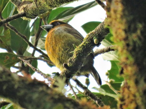 Photo of Prong-billed Barbet taken by bird guide in Boquete, Panama