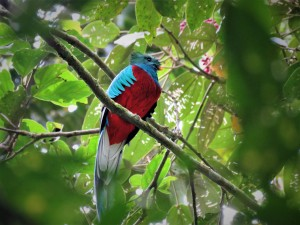 Photo of a Resplendent Quetzal taken whilst birding Boquete with Panama Pipeline Bird Tours