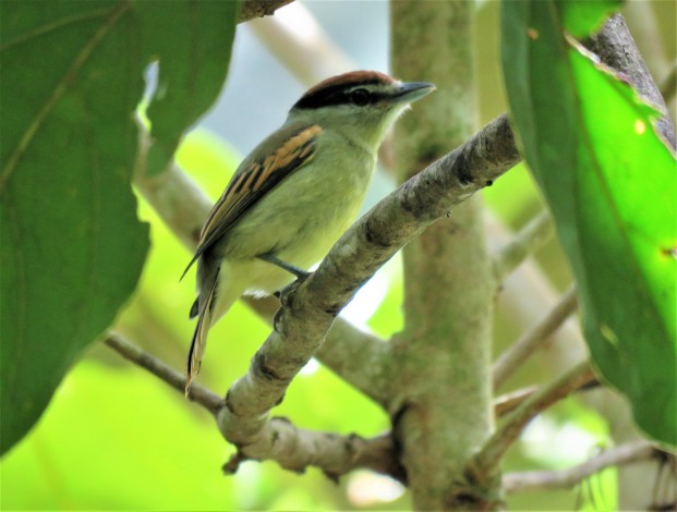 Photo of a Black-and-White Becard taken on a Bird Tour of Boquete with Panama Pipeline Bird Tours