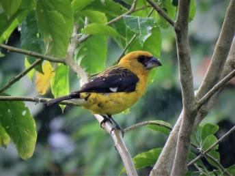 Photo of a Black-thighed Grosbeak taken by bird guide in Boquete Panama