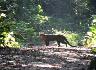 A photo of a Jaguarundi taken whilst birding Pipeline Road, Panama